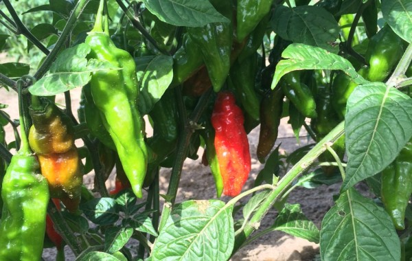 Hot Peppers!