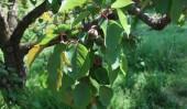 Tender Fruits