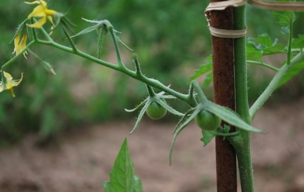 Promise of Tomatoes
